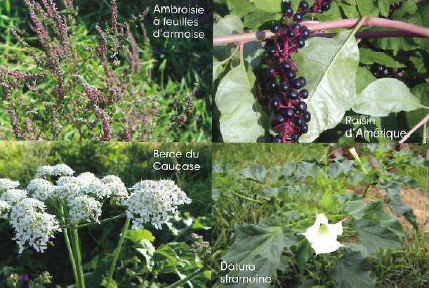 Des plantes toxiques s'invitent dans nos jardins. Soyez vigilants!